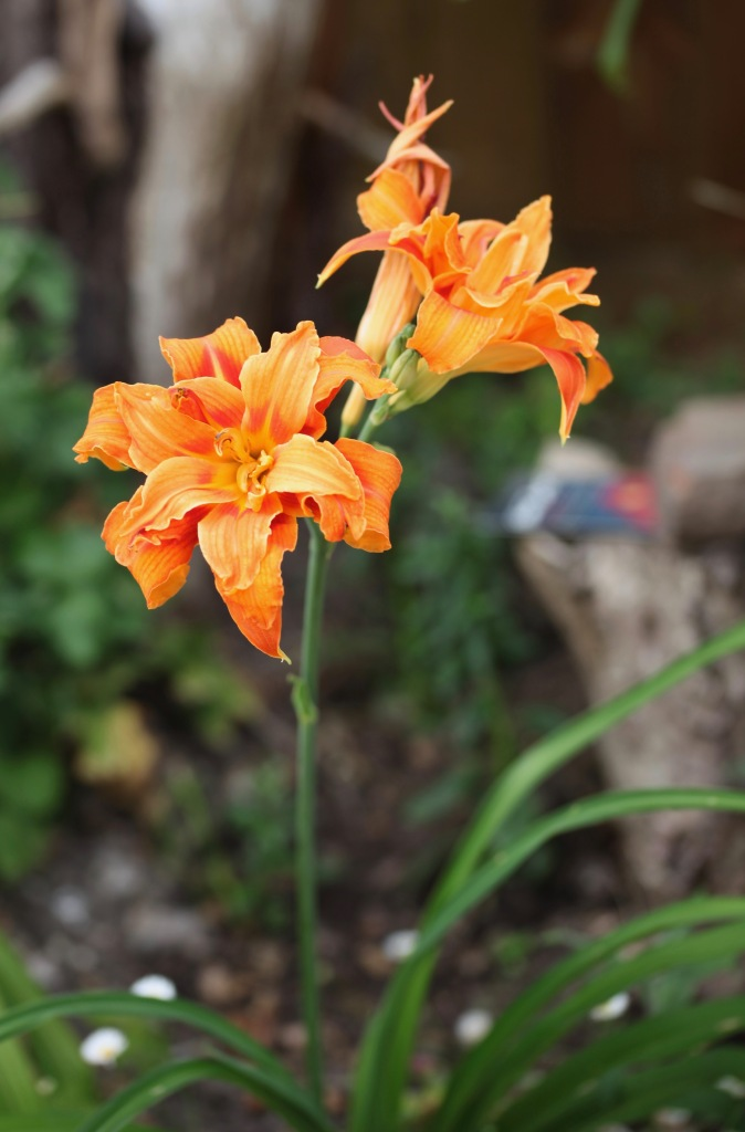 Day lily 2