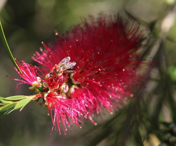 Bee on bottle brush plant 1