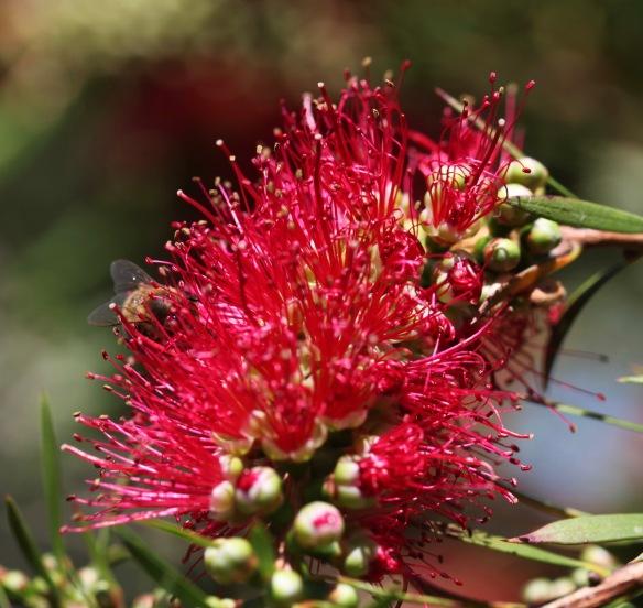Bee on bottle brush plant 2