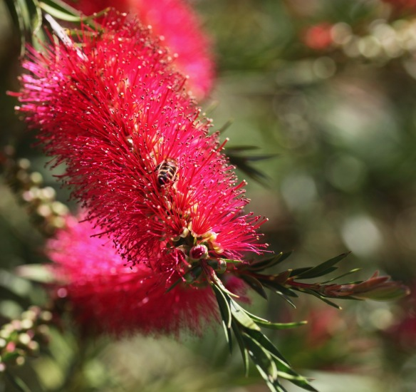 Bee on bottle brush plant 3