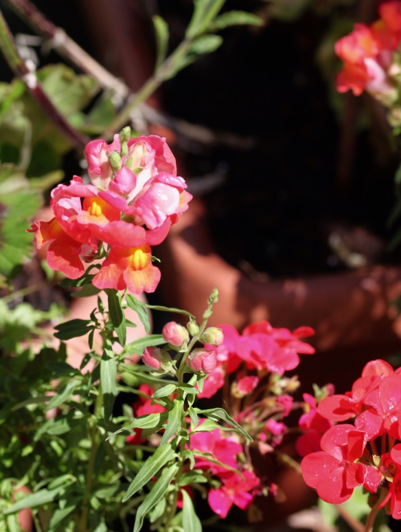 Snapdragons and geraniums