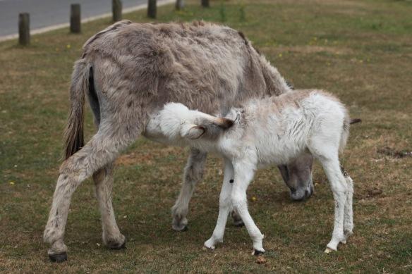 Donkey foal suckling