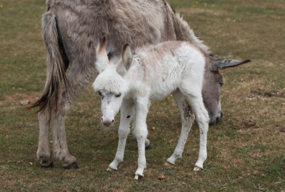 Donkey foal and mother