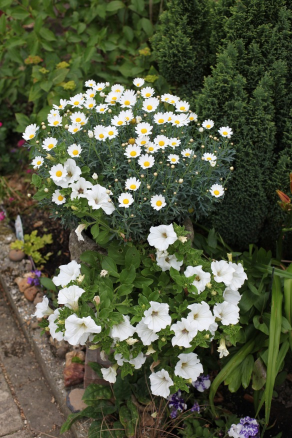 Petunias and marguerites