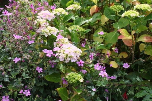 Hydrangea and geranium palmatums