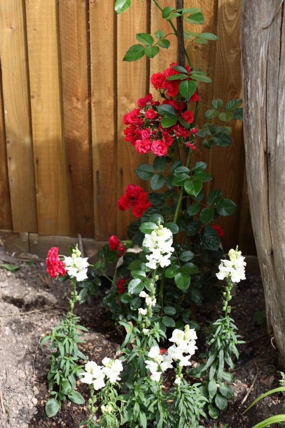 Rose Super Elfin and snapdragons