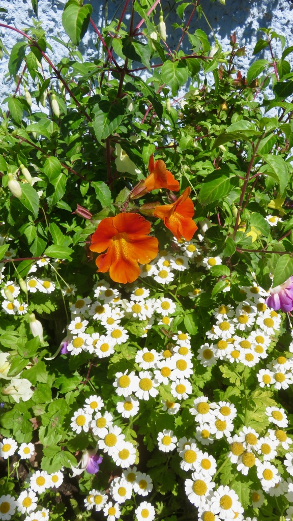 Mimulus and feverfew