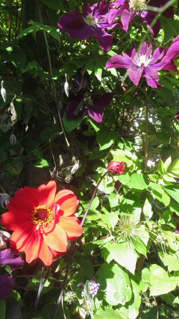 Dahlia and clematis
