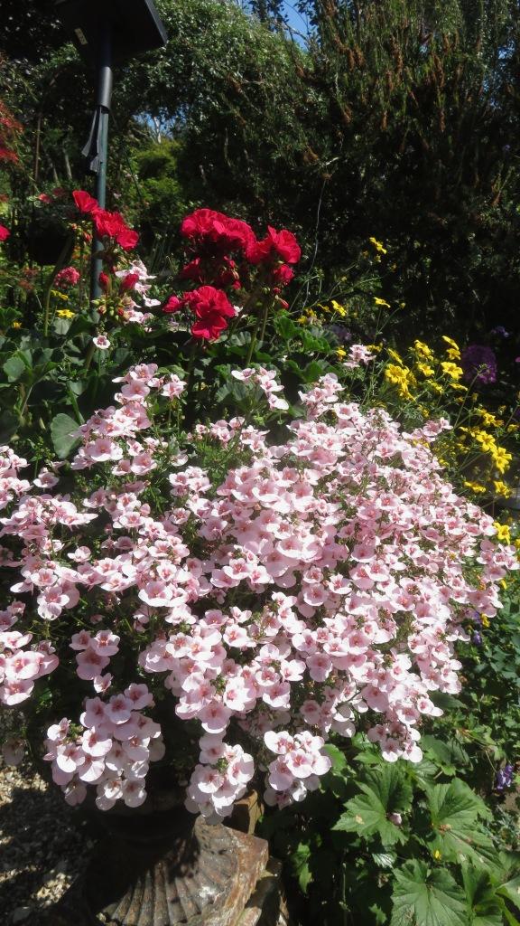 Diascia, geraniums, bidens