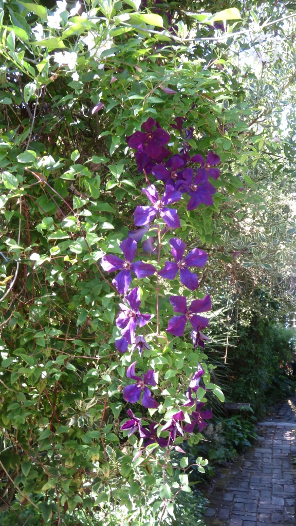 Clematis and solanum