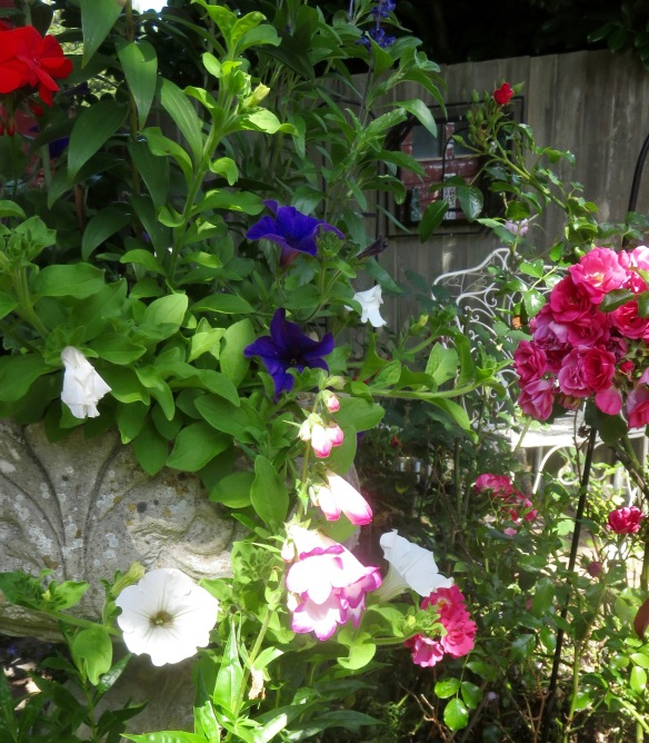 Petunias, penstemons among roses
