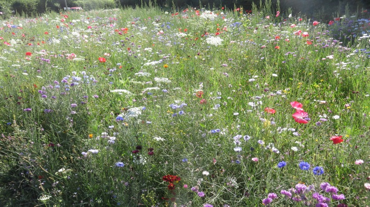 Wildflower meadow wide view 1