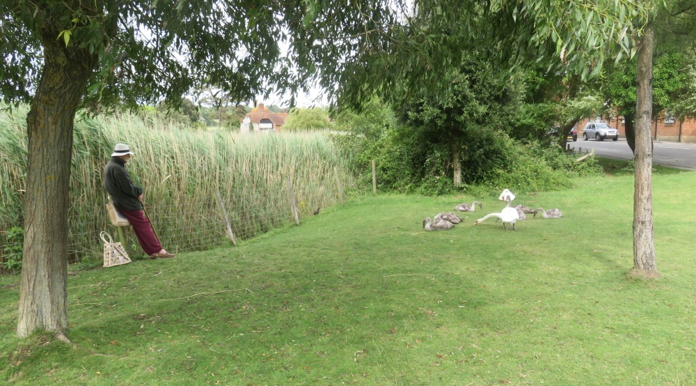 Swans, cygnets, observer, and pheasant
