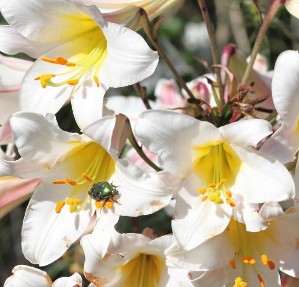 Beetle on lilies 2