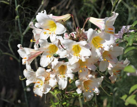 Beetle on lilies