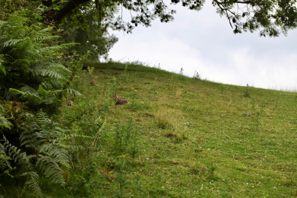 Rabbits on hillside