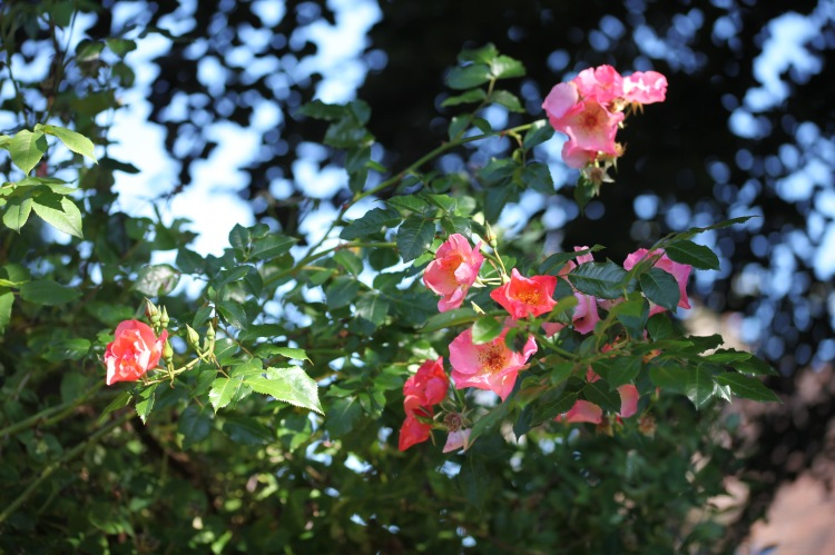 Rose Summer Wine