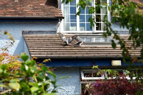 Pigeons on roof 1
