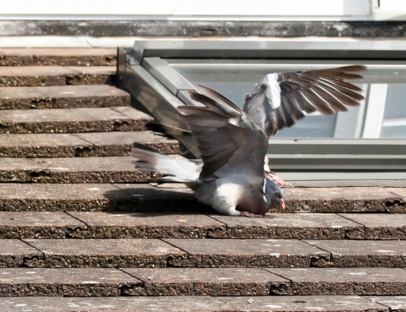 Pigeons on roof 2