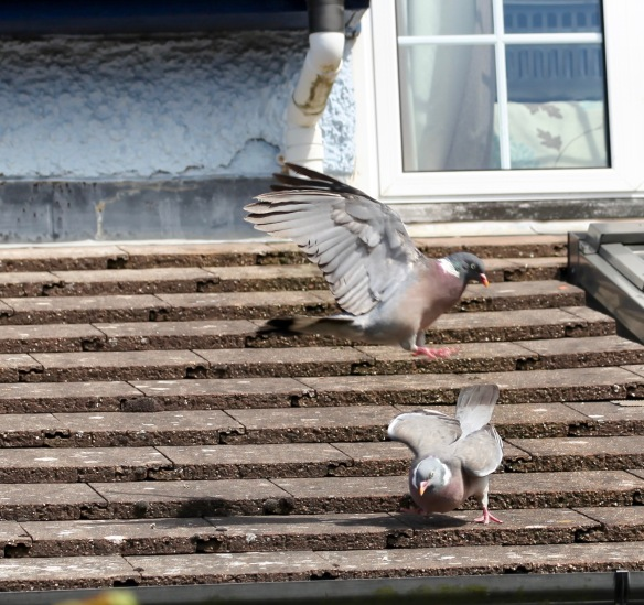 Pigeons on roof 3