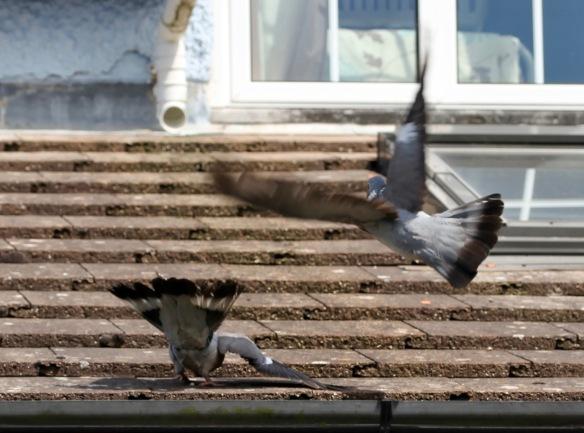 Pigeons on roof 4