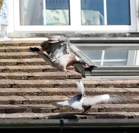 Pigeons on roof 5