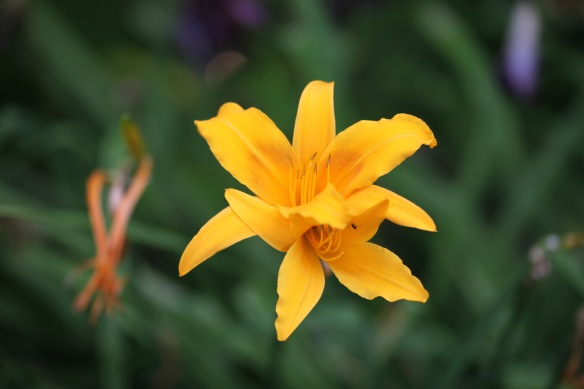 Day lilies 2
