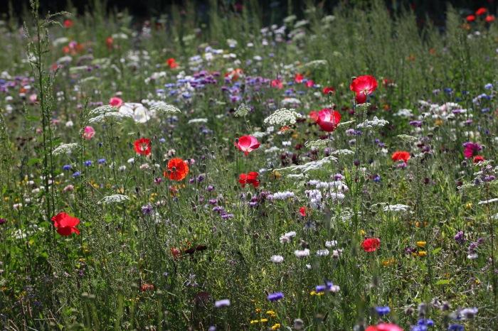 Wildflower meadow 1