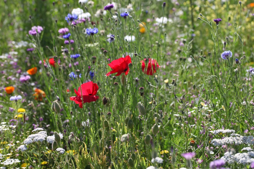 Wildflower meadow 5