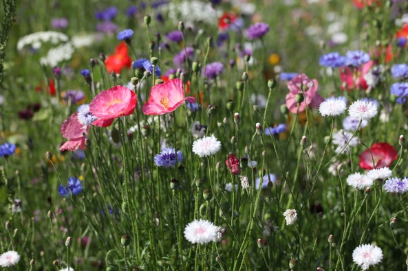 Wildflower meadow 6