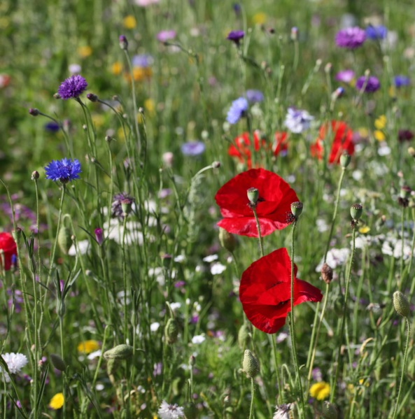 Wildflower meadow 7