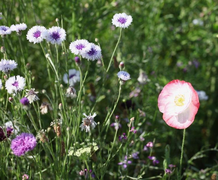 Cornflower meadow 9
