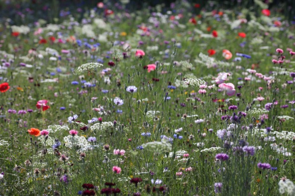 Wildflower meadow 11