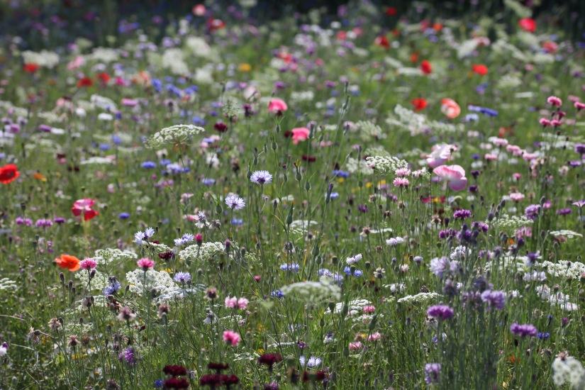 Wildflower meadow 11