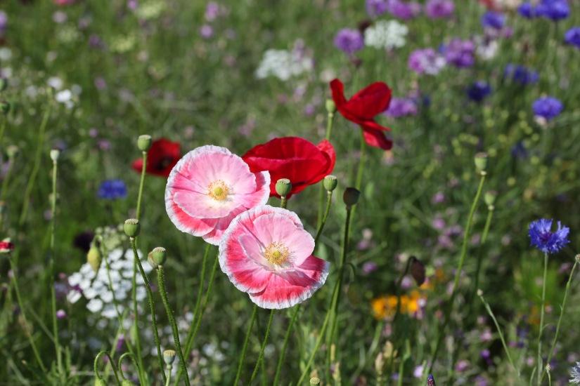 Wildflower meadow 12