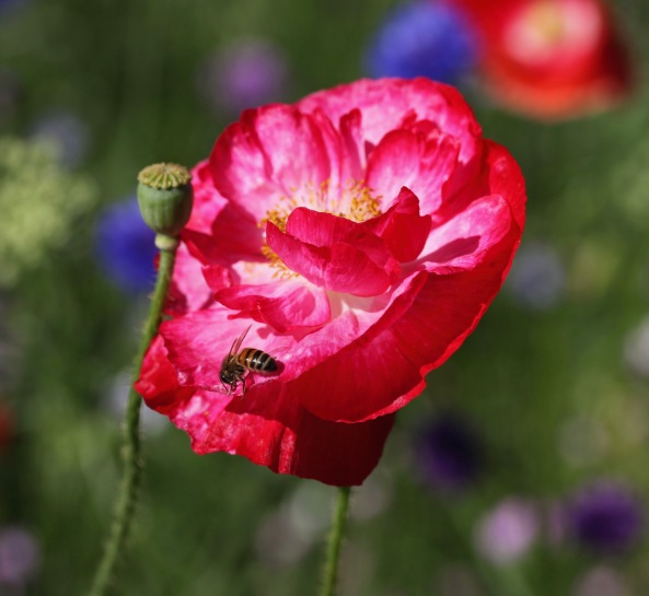 Bee on poppy 1