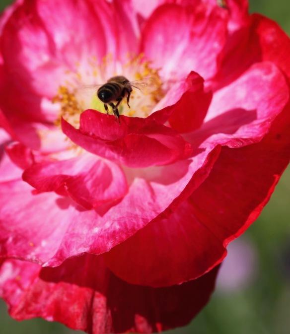 Bee on poppy 2