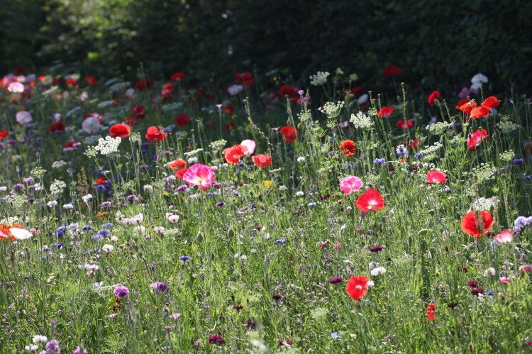 Wildflower meadow 16