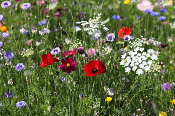 Wildflower meadow 17