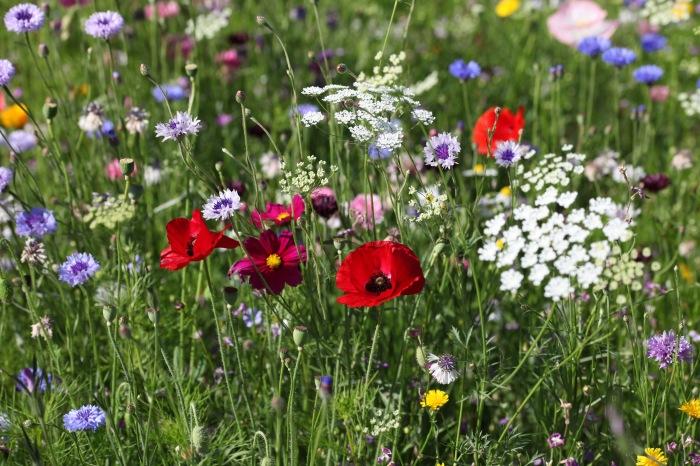 Wildflower meadow 17