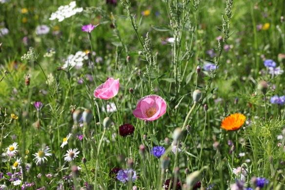 Wildflower meadow 18