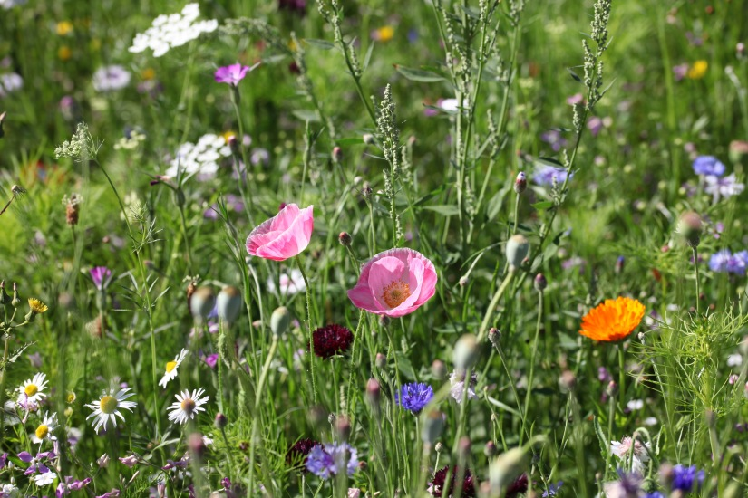 Wildflower meadow 18