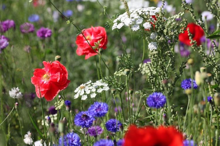 Wildflower meadow 19