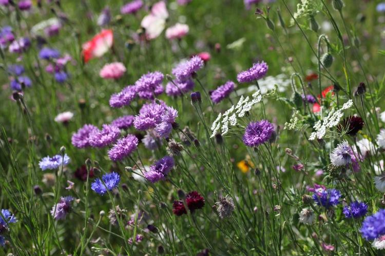 Wildflower meadow 21