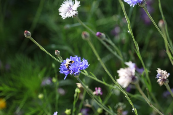Bee on cornflower 2