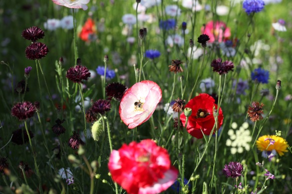 Wildflower meadow with bee on poppy 2