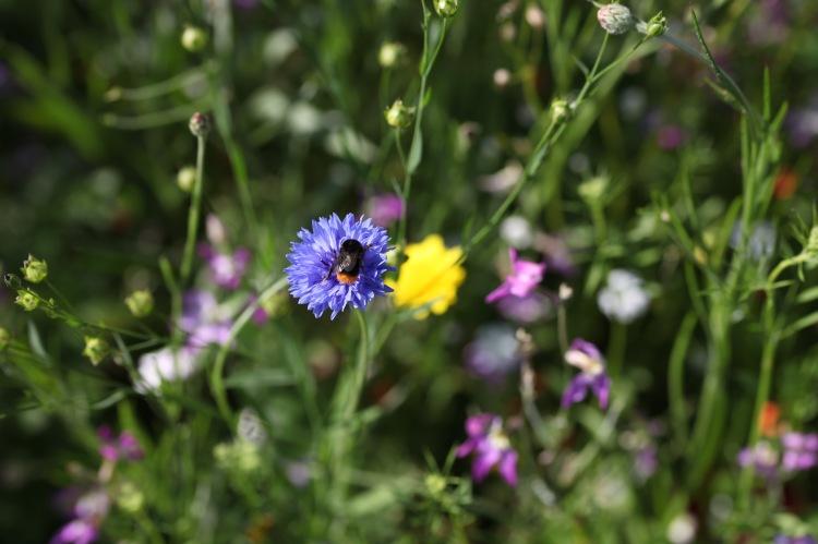 Wildflower meadow with bee on cornflower 3