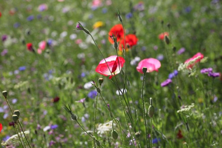 Wildflower meadow 23