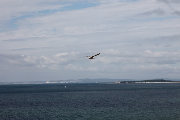 Gull over Christchurch Bay