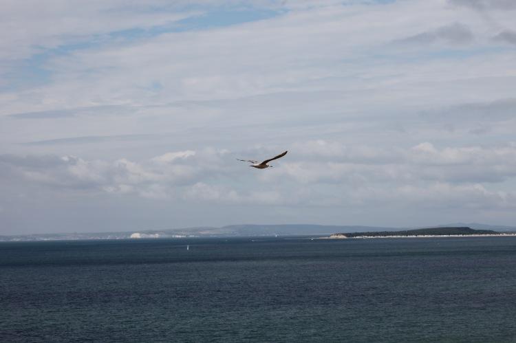 Gull over Christchurch Bay